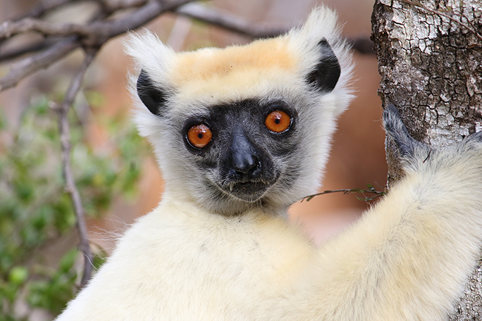 Here's looking at you, from a large lemur in a tree